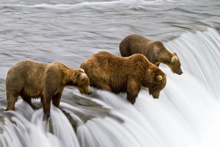 Brown bears fishing for salmon by Michael Nolan