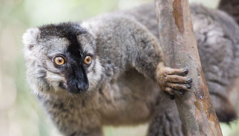 Lemurs by Matthew Williams-Ellis