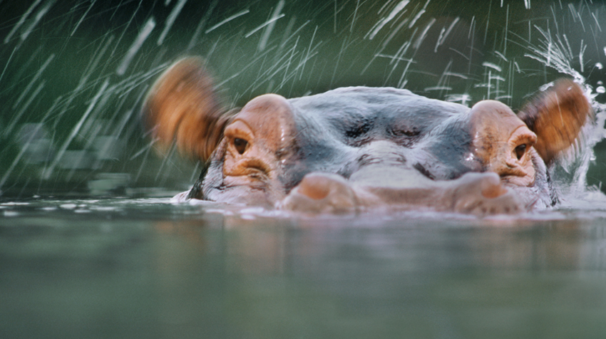 Fascinating hippos by Frans Lanting
