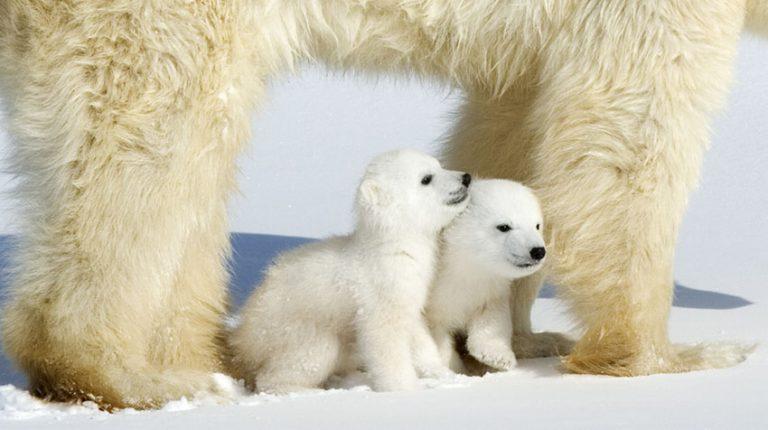 Magnificent polar bears by Thorsten Milse