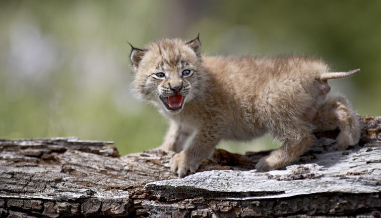 Incredible lynxes by James Hager