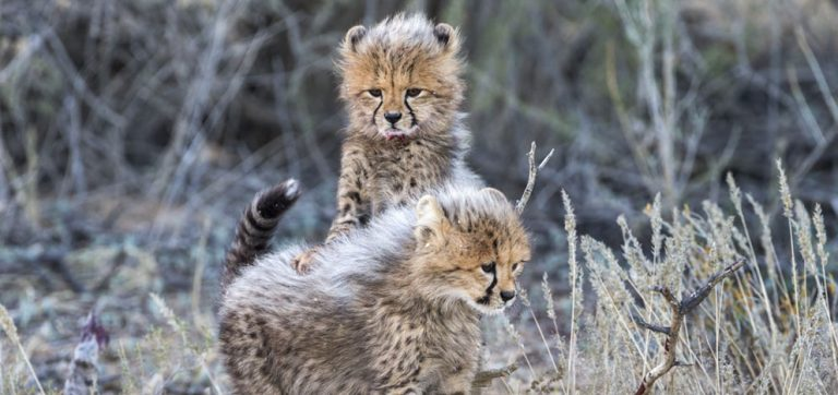 Cheetahs and their cubs by Ann and Steve Toon