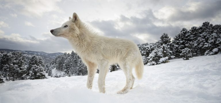Amazing Arctic wolves by Janette Hill