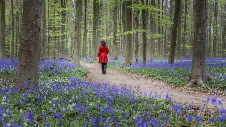 Bluebell season in northern Europe