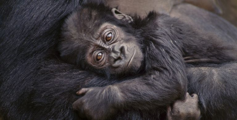 Gorillas and their babies by Frans Lanting