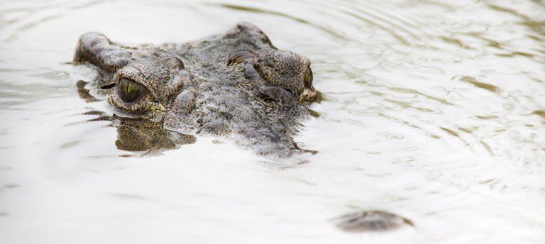 Fearsome Nile crocodiles by Ann and Steve Toon