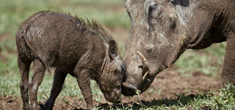 Characterful warthogs by James Hager