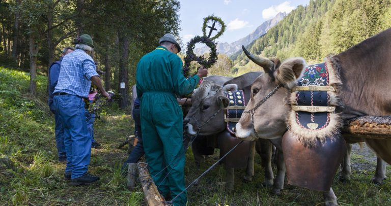 Ceremonial cattle drives in South Tyrol, Italy