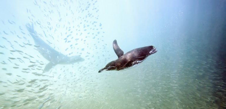 Gliding Galapagos penguins by Michael Nolan