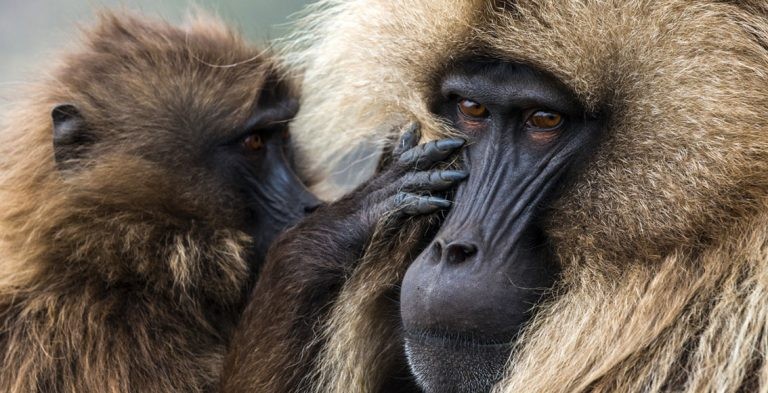Monkeys of the Simien Mountains by Michael Runkel