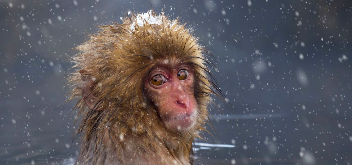 Amazing snow monkeys by Andrew Sproule