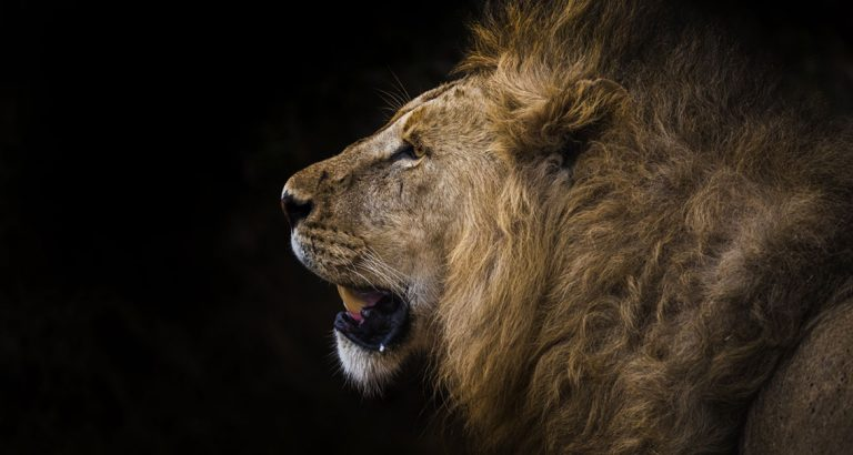 The majestic lions of Tanzania by Ashley Morgan