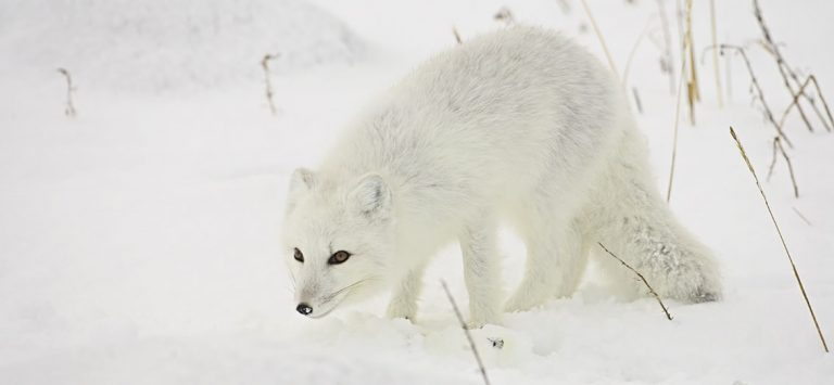 Hardy Arctic foxes by James Hager