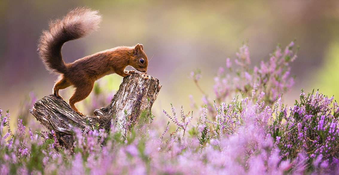 Disappearing red squirrels by Kevin Morgans