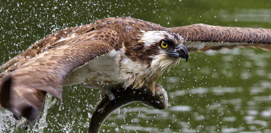 Amazing action photos of ospreys fishing by Garry Ridsdale