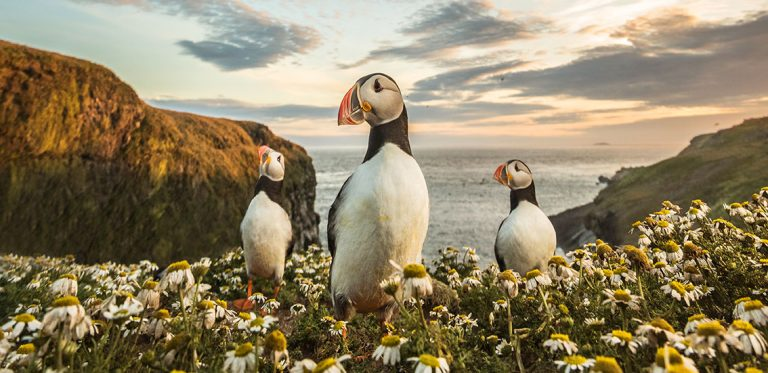 Photographing puffins on Skomer Island by Matthew Cattell