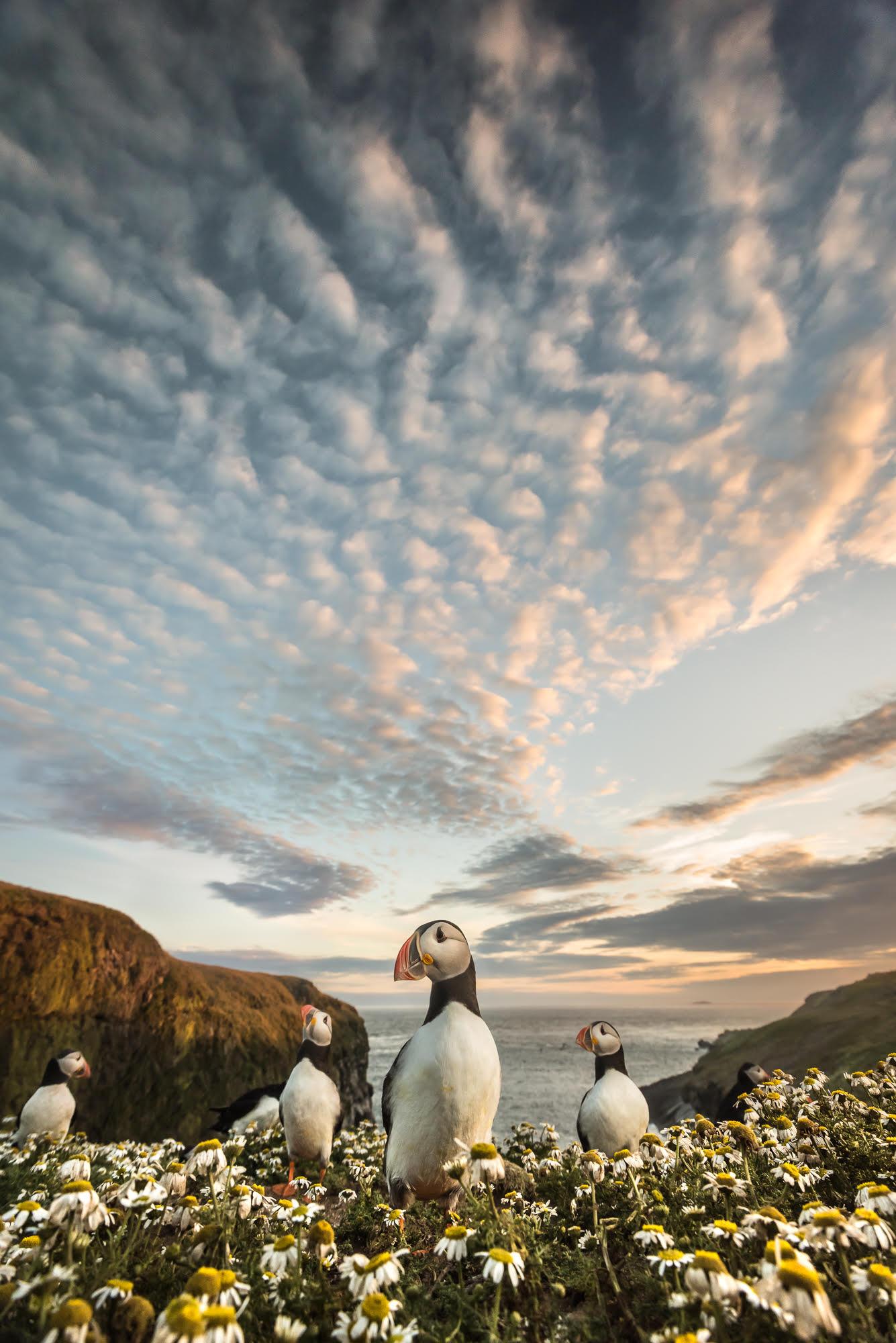 Landscape image featuring Skomer puffins