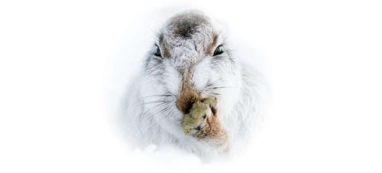 Compelling portraits of mountain hares by Karen Deakin