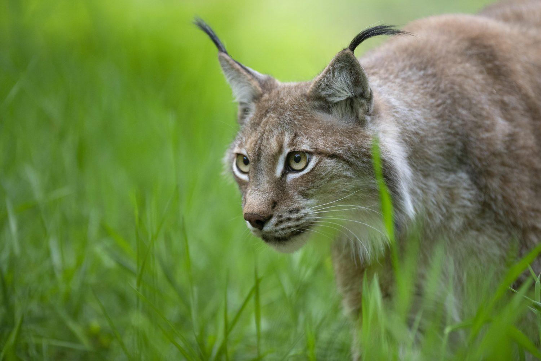 Eurasian lynx (Lynx lynx) on the stalk