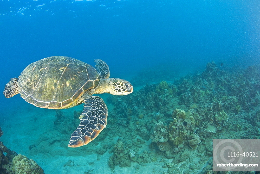 Green Sea Turtle, Turtle Cleaning Station, South Maui, Hawaii, Usa