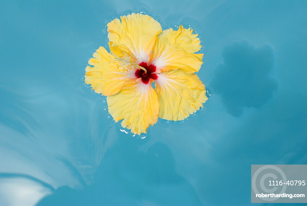 Island Of Samui, Thailand, Yellow Flower Floating On Blue Water