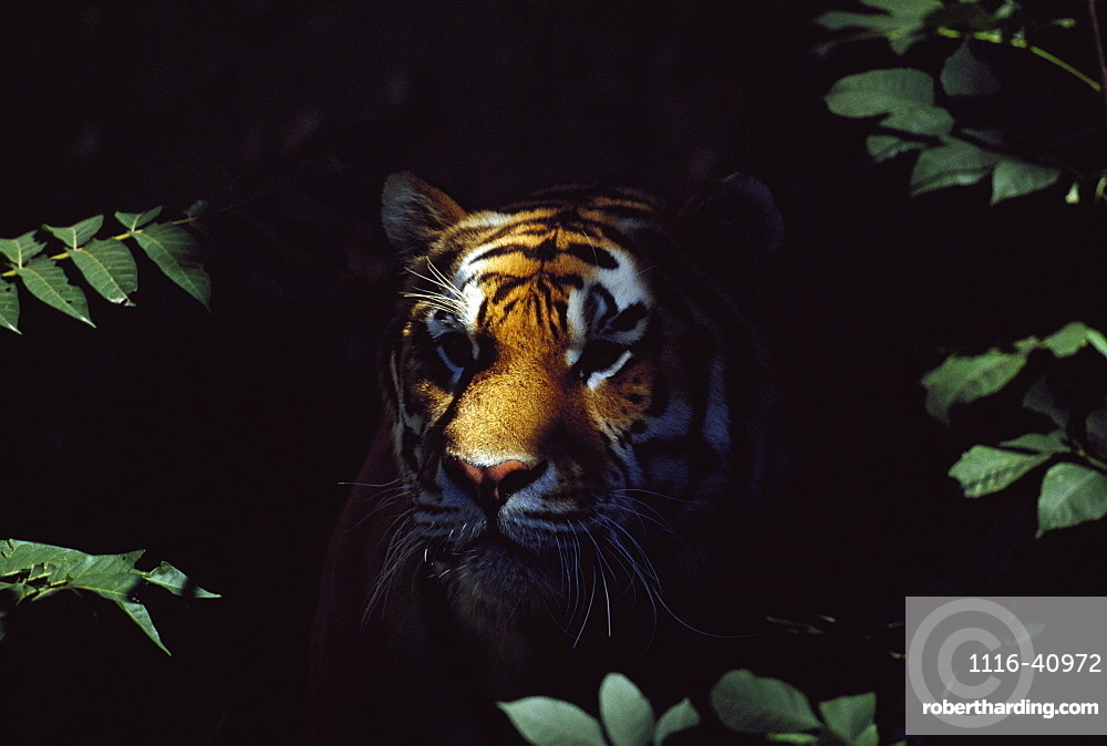 Siberian Tiger (Panthera Tigris Altaica) Peers From Forest Shadows, Captive, Native Toamur-Ussuri Region Of Russia