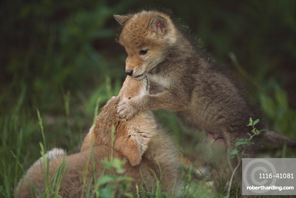 Coyote Puppies Wrestling (Canis Latrans), Idaho, Usa