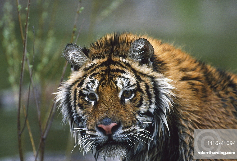 Portrait Of Wet Siberian Tiger, Native Toamur-Ussuri Region Of Russia
