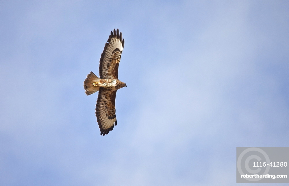 Northumberland, England, An Eagle In Flight