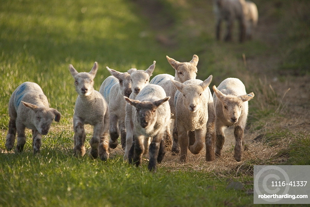 Northumberland, England, A Group Of Lambs Running Together