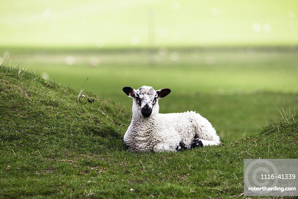 Northumberland, England, A Sheep Sits Alone In A Pasture