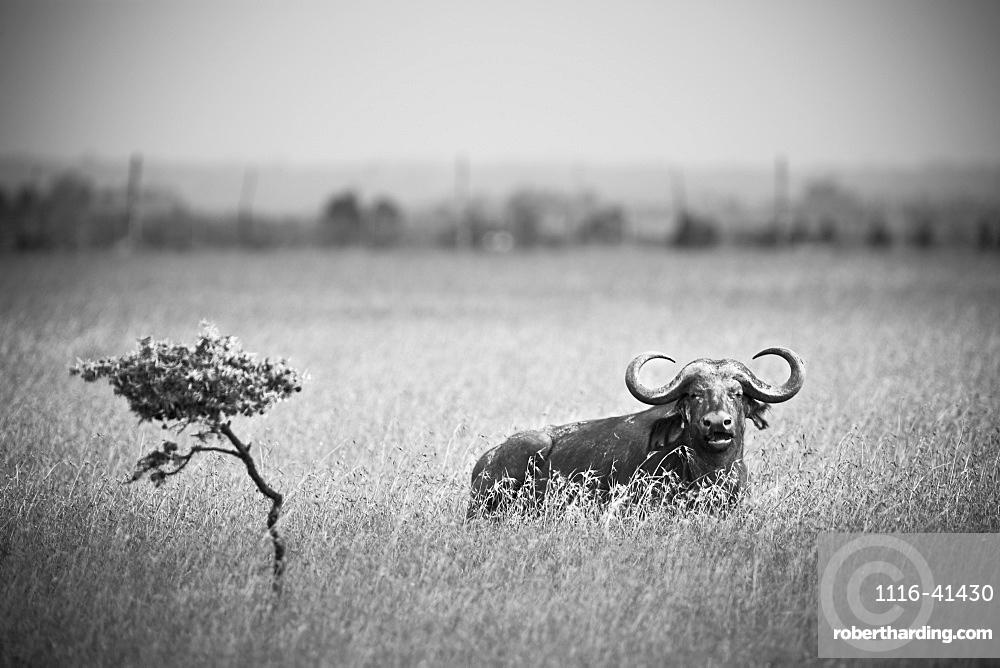 A Wildebeest In A Field, Kenya