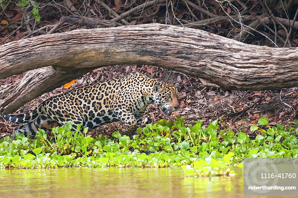 Female jaguar hunts along the pixiam river, Pantanal brazil