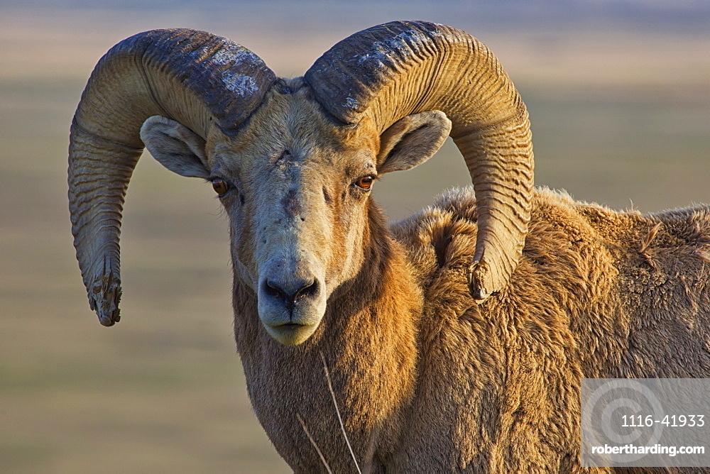 Bighorn sheep badlands national park, south dakota united states of america