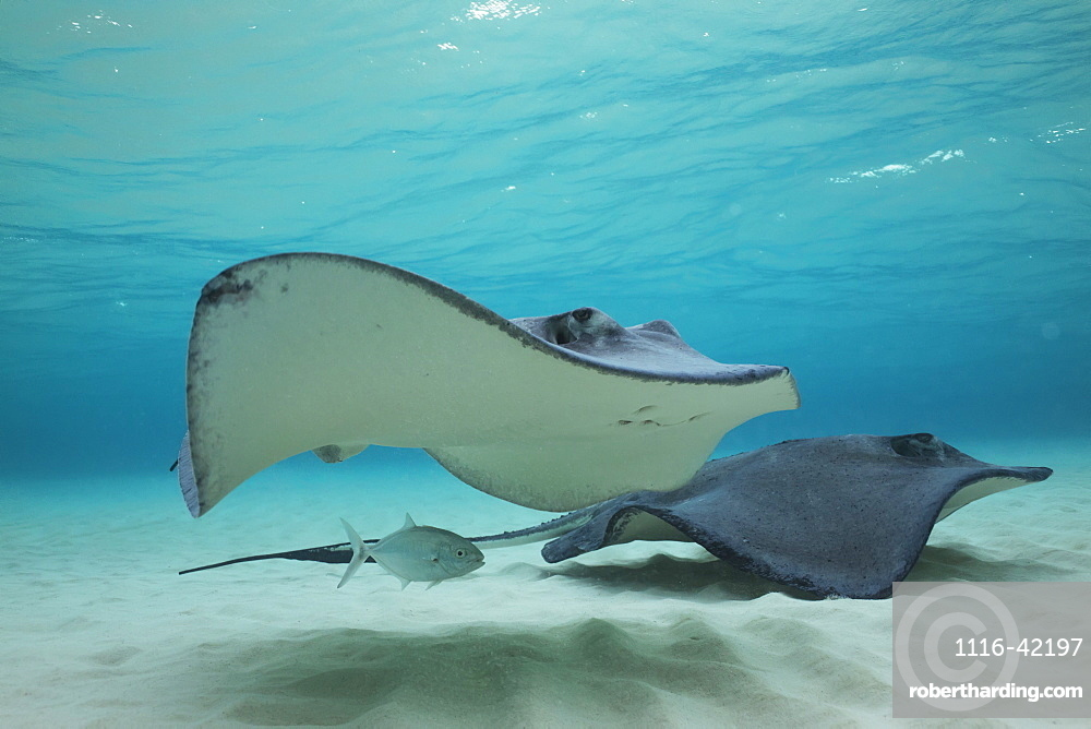 Stingrays Swimming Over The Sand In Shallow Water, Grand Cayman, Cayman Islands