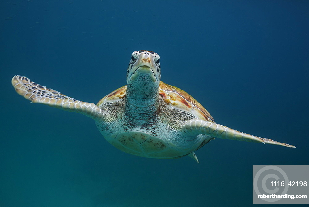 Green Turtle Swimming Underwater, Barbados