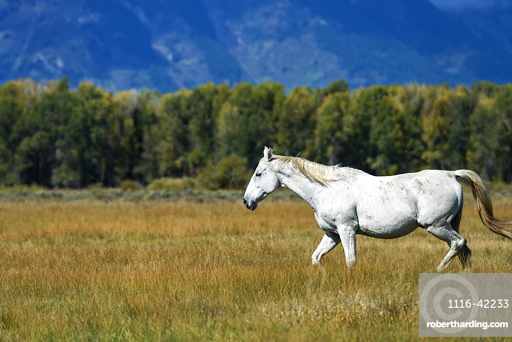 White Horse Walking Through The Grass In Grand Tetons National Park, Wyoming, United States Of America