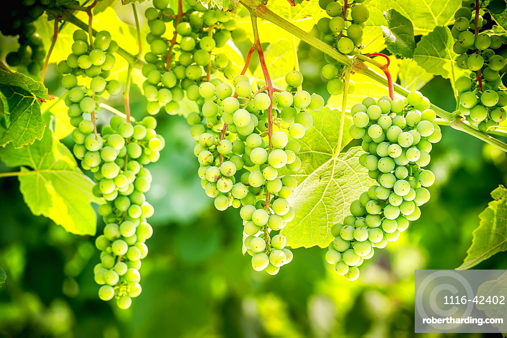 Green Grapes On A Vine, Northeast, Pennsylvania, United States Of America