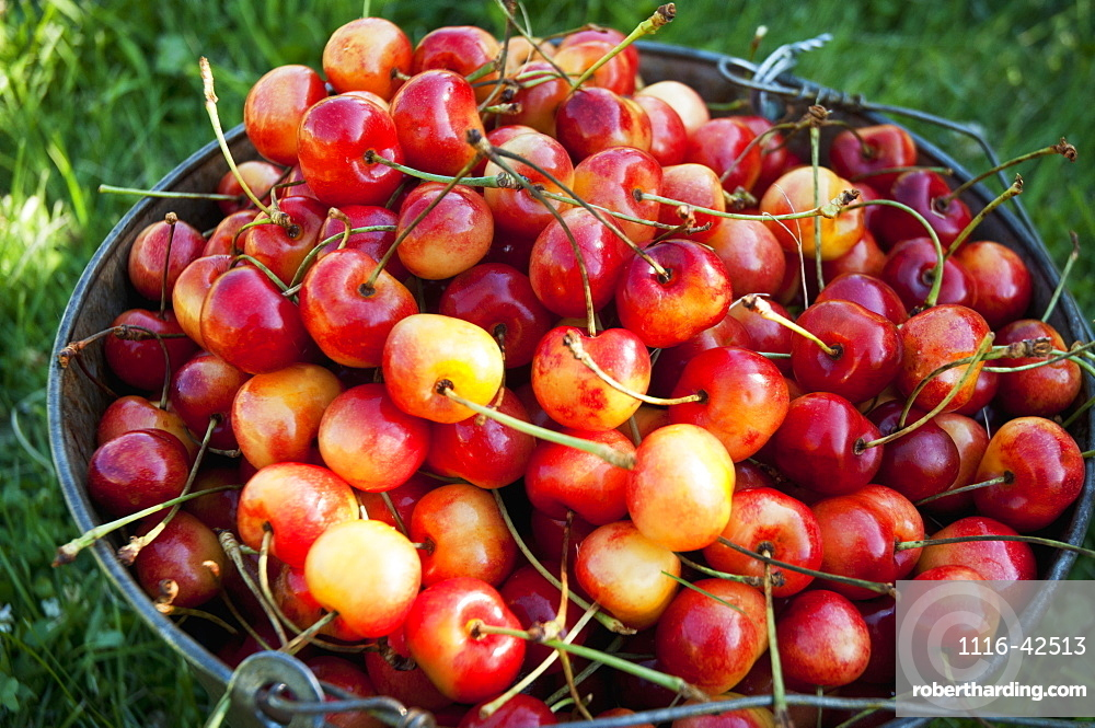 A Bucket Of Ripe Ranier Cherries Are Freshly Picked In The Okanagan, British Columbia, Canada