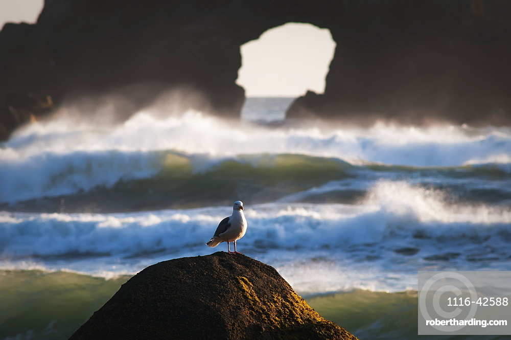 A Gull Rests On A Rock At Ecola State Park, Oregon, United States Of America