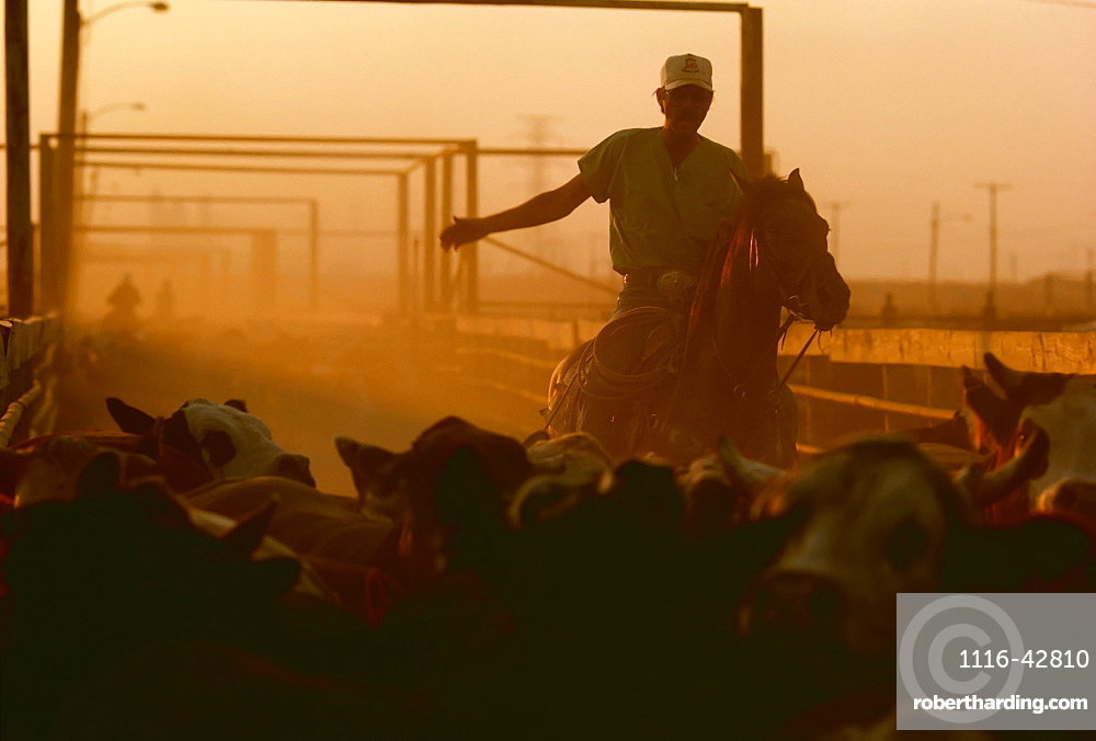 Agriculture - A cowboy on horseback driving cattle at a beef cattle feedlot.