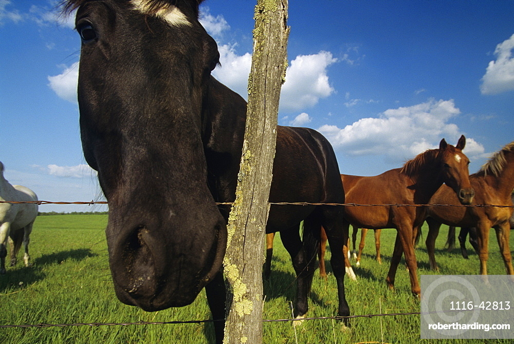 Livestock - A curious horse standing with it