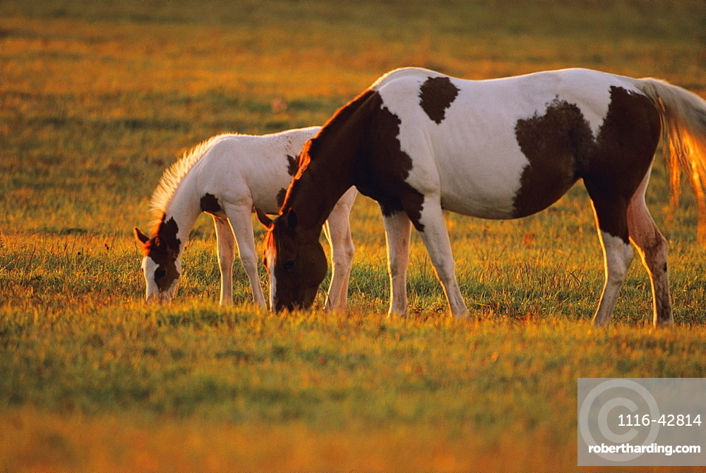 Livestock - A Pinto mare and her foal graze on a green pasture in late afternoon light / Douglas County, Wisconsin, USA.