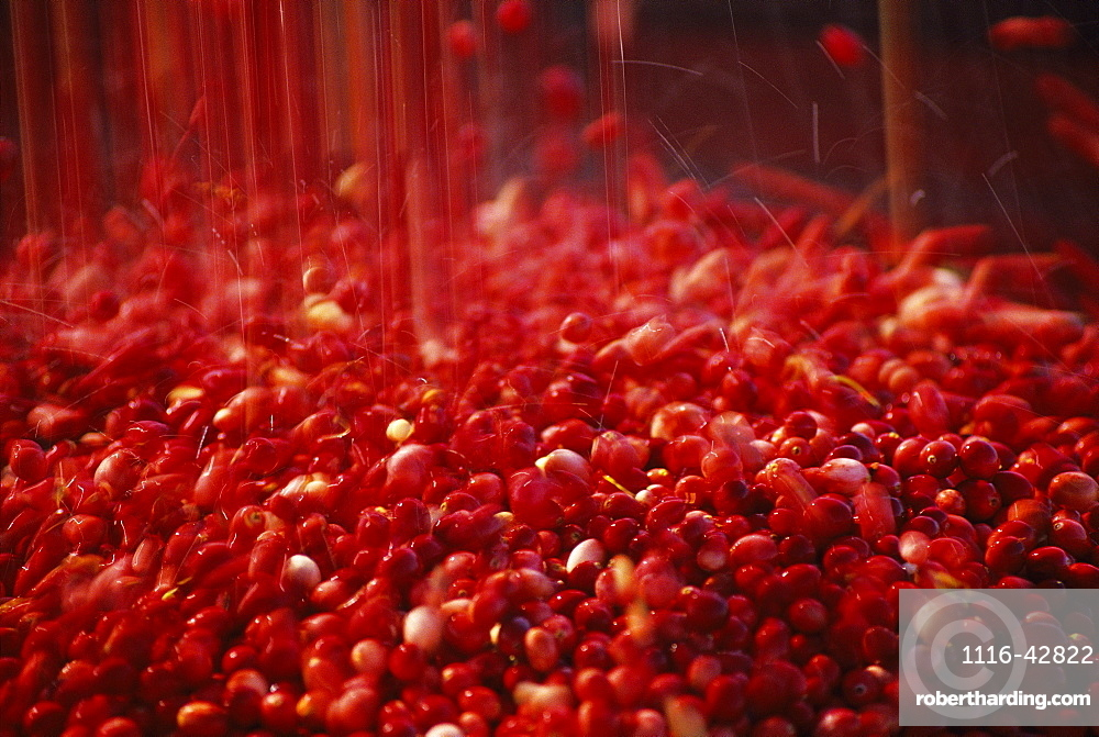 Agriculture - Ripe cranberries cascade from a conveyor into a truck during the harvest / Tomah, Wisconsin, USA.