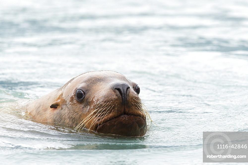 Steller Sea Lion (Eumetopias Jubatus) In The Water, Valdez, Alaska, United States Of America