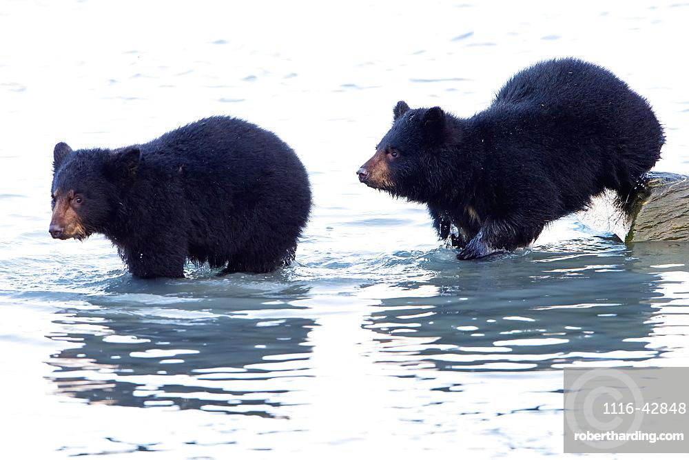 Two Black Bear (Ursus Americanus)Cubs In The Water, Valdez, Alaska, United States Of America