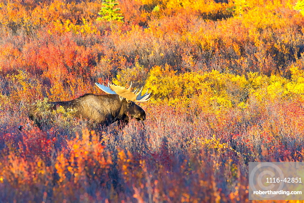 Moose Bull In Autumn Coloured Shrubs, Denali, Alaska, United States Of America