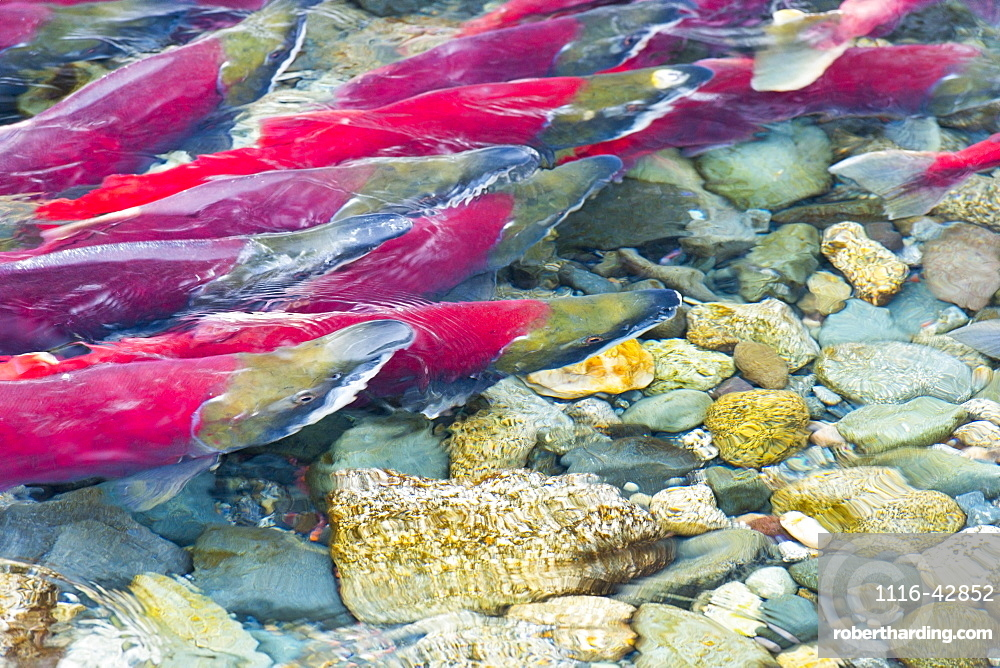 Group Of Sockeyes In Shallow Water, Paxson, Alaska, United States Of America