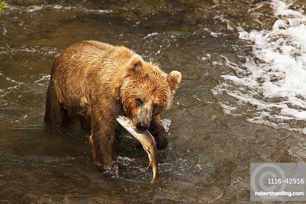 Brown Bear (Ursus Arctos) In Brooks River Holding Sockeye Salmon (Oncorhynchus Nerka), Katmai National Park And Preserve, Alaska, United States Of America