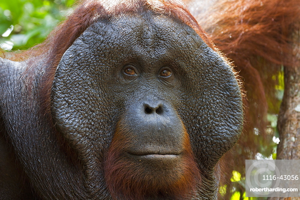 Male Bornean Orangutan (Pongo Pygmaeus) At Pondok Tanggui, Tanjung Puting National Park, Central Kalimantan, Borneo, Indonesia